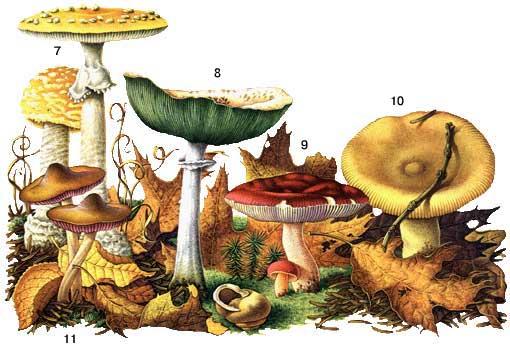 Обычные ядовитые грибы.