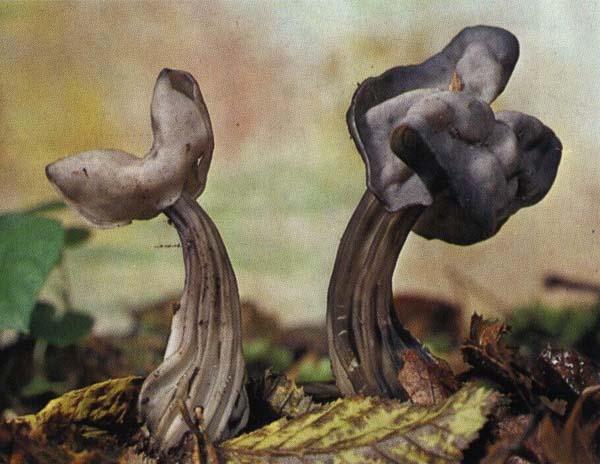 Лопастник ямчатый Helvetia lacunosa