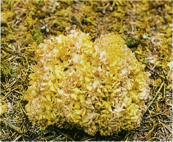 Спарассис курчавый, грибная капуста Sparassis crispa