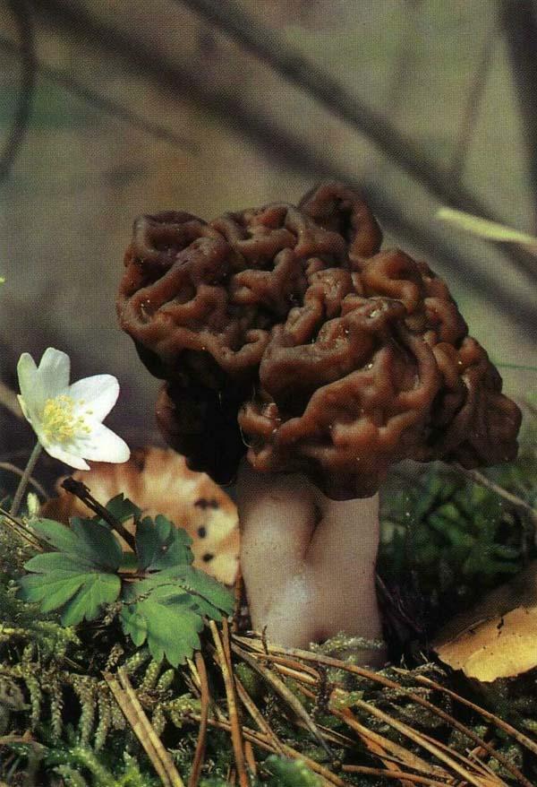 Строчок обыкновенный, строчок весенний Gyromitra esculenta