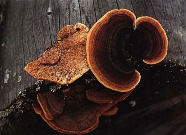 Заборный гриб Gloeophyllum sepiarium
