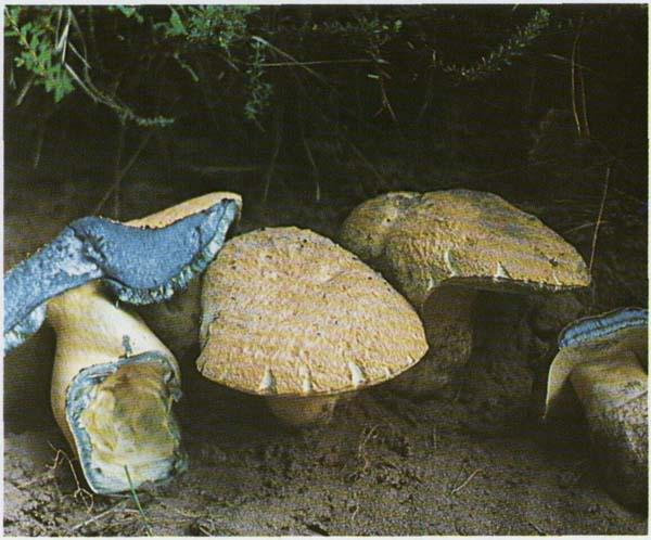 Синяк Gyroporus cyanescens