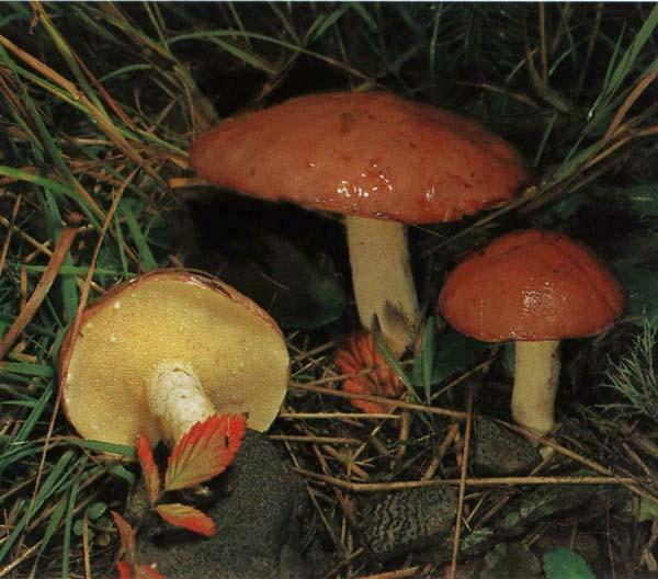 Масленок зернистый Suillus granulatus