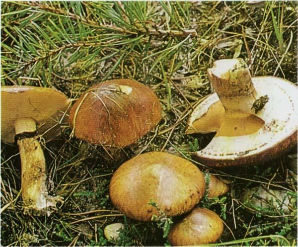 Масленок обыкновенный Suillus luteus