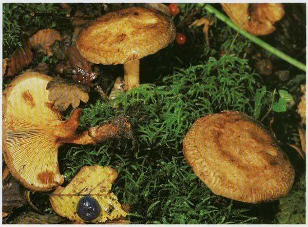 Свинушка тонкая Paxillus involutus