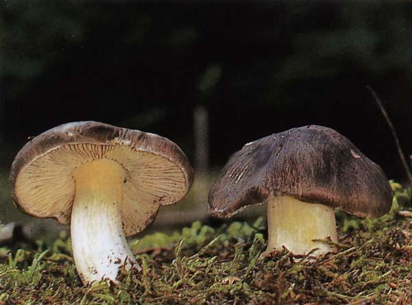 Рядовка серая Tricholoma portentosum