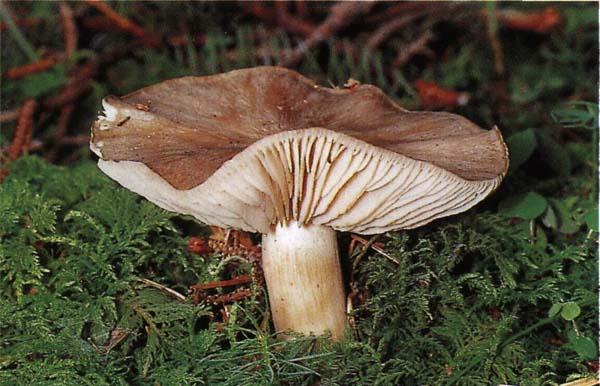 Удемансиелла широкопластинчатая Megacollybia platyphylla (Oudemansiella platyphylla)