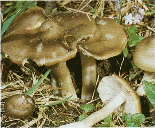 Эйтолома съедобная, энтолома садовая Entoloma dypeatum (Rhodophyllus clypeatus)