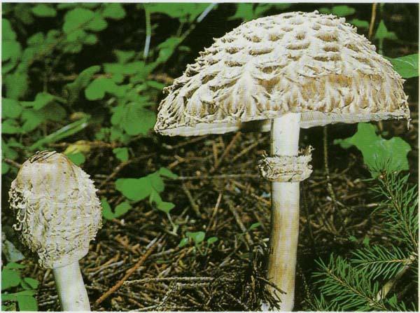 Гриб-зонтик краснеющий Macrolepiota rhacodes