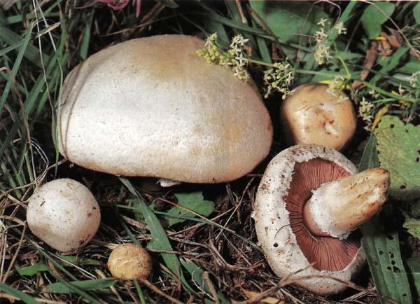Шампиньон обыкновенный Agaricus campestris