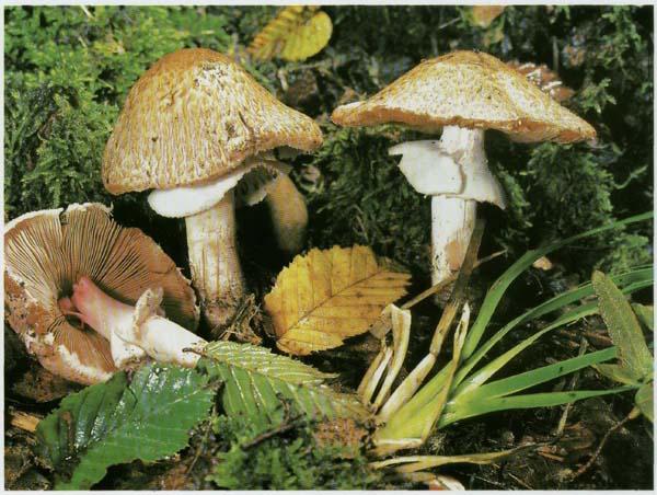 Шампиньон лесной Agaricus silvaticus