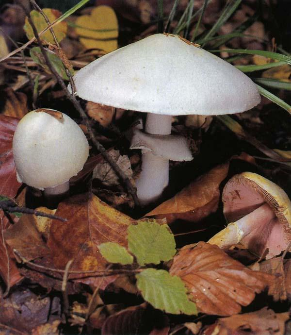 Шампиньон полевой Agaricus arvensis