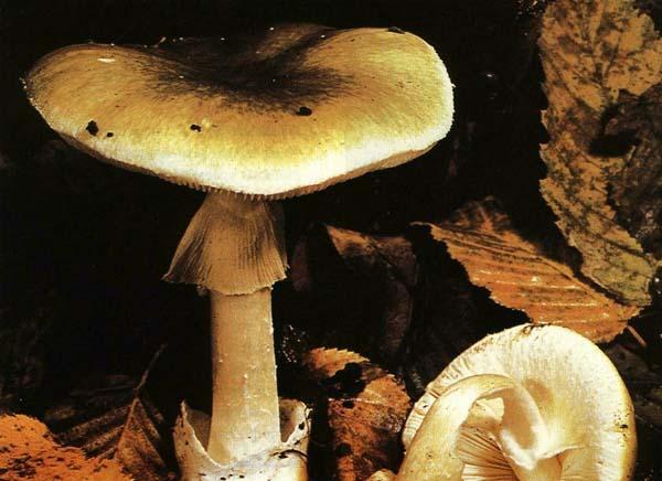 Бледная поганка Amanita phalloides