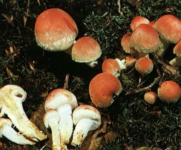 Ложноопенок кирпично-красный Hypholoma lateritium (Hypholoma sublateritium)