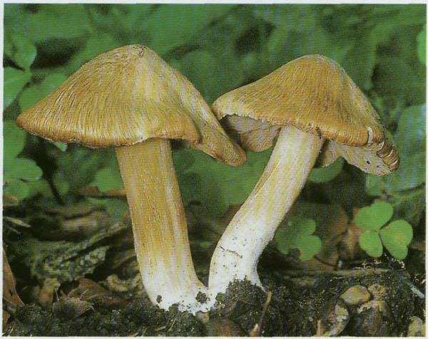 Волоконница Патуйяра Inocybe erubescens (Inocybe patouillardii)