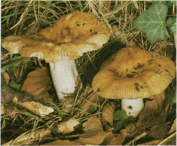 Валуй, сопливик Russula foetens
