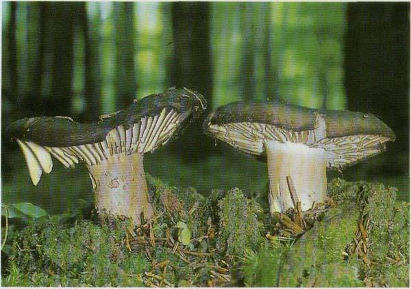 Сыроежка чернеющая Russula nigricans