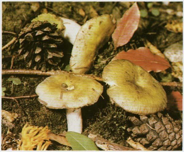Сыроежка охряно-желтая Russula ochroleuca