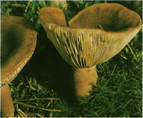 Груздь горький, горькушка Lactarius rufus