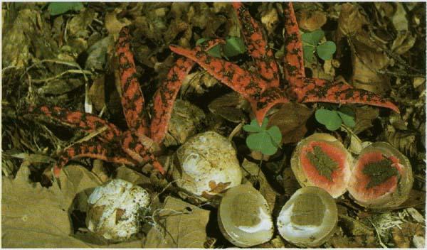 Цветохвостник Аргера Anthurus archeri