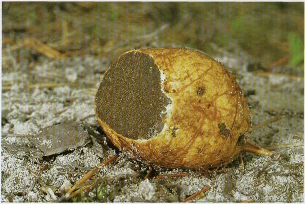 Ризопогон желтоватый, корневец желтоватый Rhizopogon obtectus (Rhizopogon luteolus)