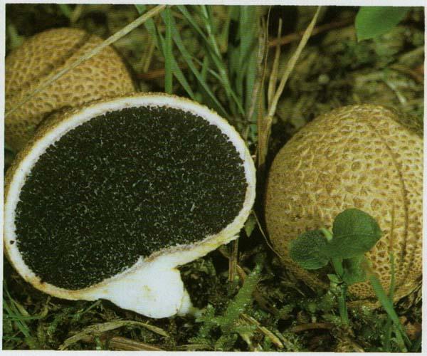 Ложнодождевик обыкновенный Sderoderma citrinum (Sderoderma aurantium)