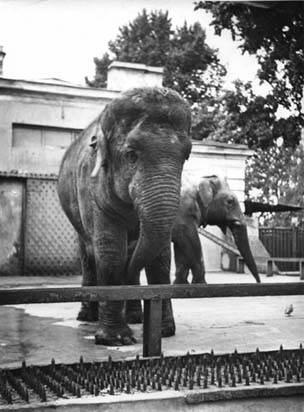 Азиатские слоны из Вьетнама: самец Сюн и самка Кунг.